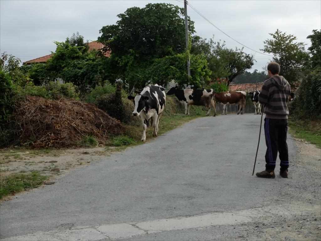 お店の手前で仲間を待っていると、牛さんの大群に遭遇_2