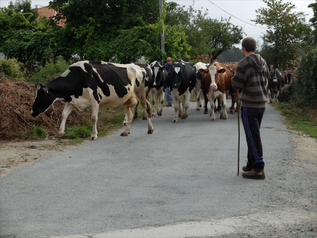 お店の手前で仲間を待っていると、牛さんの大群に遭遇_3