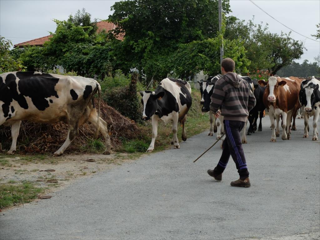 お店の手前で仲間を待っていると、牛さんの大群に遭遇_4