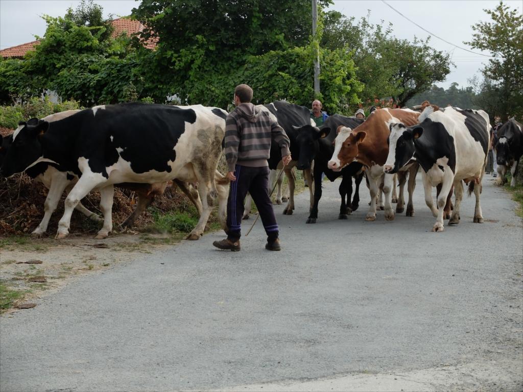 お店の手前で仲間を待っていると、牛さんの大群に遭遇_5