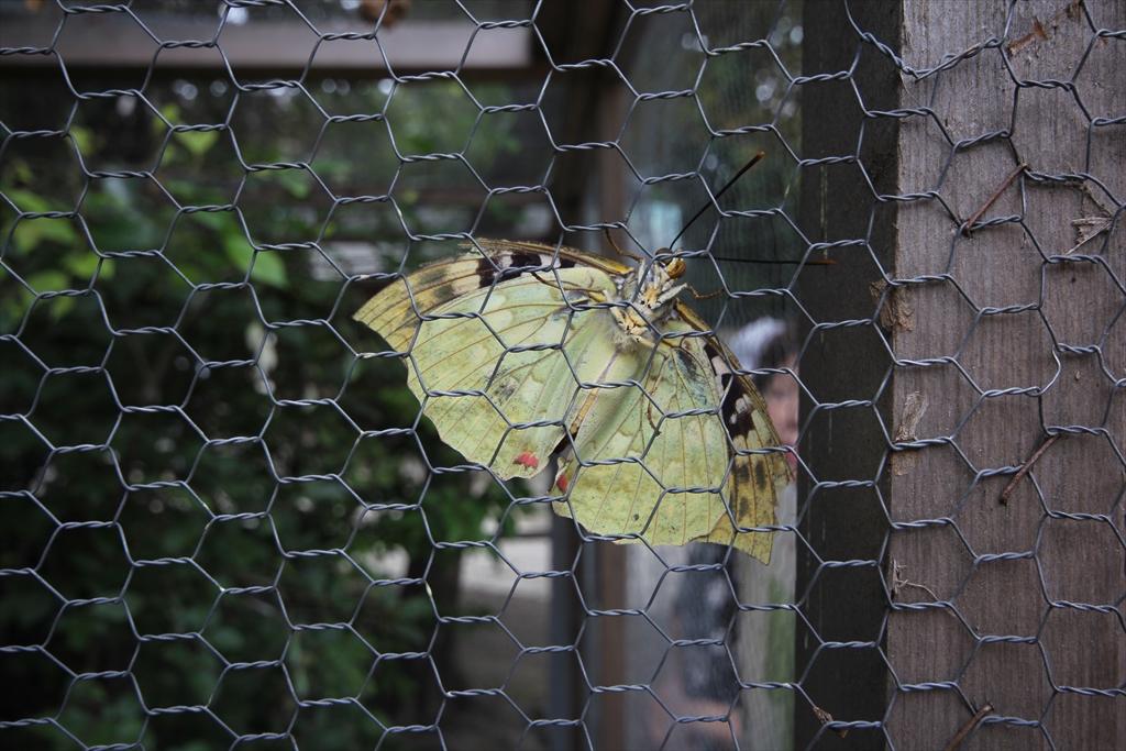 国蝶のオオムラサキ