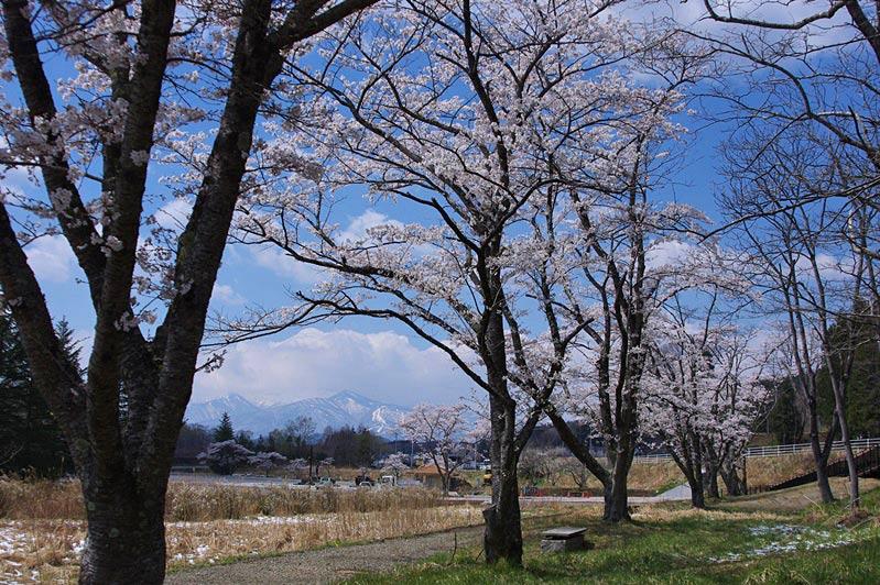 IMGPsakura3-184.jpg