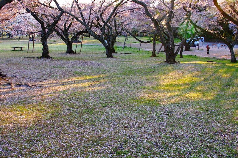IMGPsakura4823.jpg