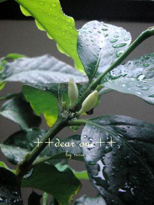 コーヒーの花130726_2