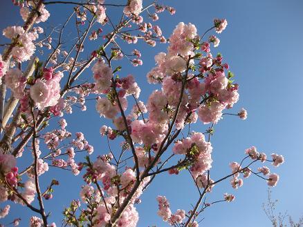 桜 エド 408