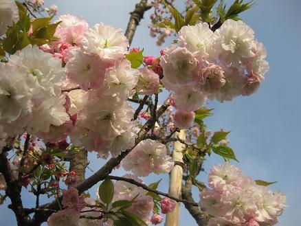 桜 ショウゲツ 409
