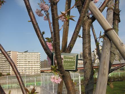 桜 フクロクジュ 409