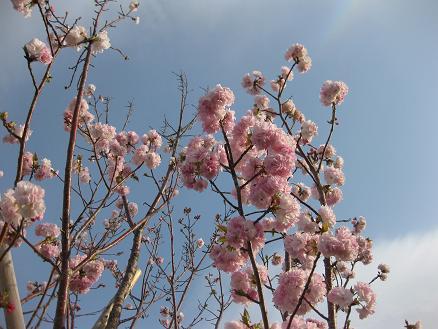 桜 フクロクジュ花 409