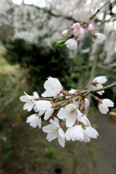 枝垂れ桜07