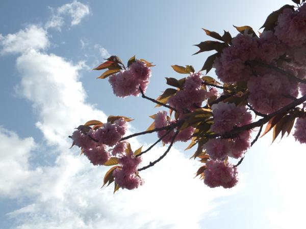 八重桜02