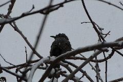 ヒヨドリ 2014年2月8日雪の日の午後