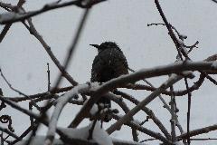 雪の日 ヒヨドリ 20140208