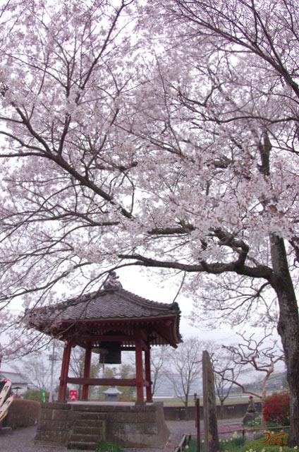 桜の木枯れました
