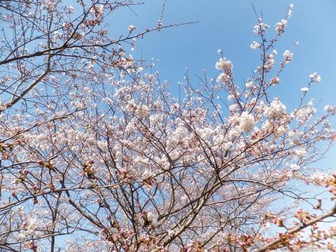 sakura-20130323-02s.jpg