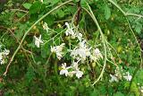 Murongakka Flower