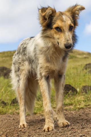 プナパウ犬