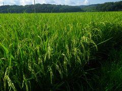[写真]隣の田んぼで稲の穂が垂れ始めた様子