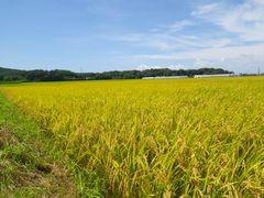 [写真]隣の田んぼで稲穂の頭が垂れている様子