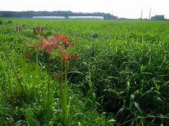 [写真]農園近くの田んぼの畦道に咲く彼岸花