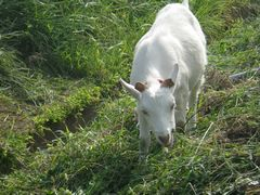 [写真]アランが農園の土手の草を食べ歩きしながらこちらに向かってくるところ