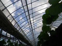 [写真]高設ベッドの下側からイチゴの苗を眺めた様子(ビニールハウスの天井越しには、青い空と白い雲)