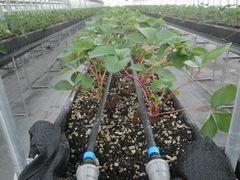 [写真]高設ベッドに植えたイチゴの苗の間に、灌水チューブ2本を這わせた様子