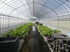 [写真]定植後の育苗ハウスの様子(奥に予備苗、手前は空ポット)