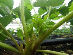 [写真]蕾がでてきた紅ほっぺの苗の様子