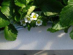 [写真]果房折れ防止対策と施した白マルチの上に、覆いかぶさるように咲くイチゴの花達