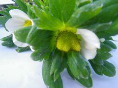 [写真]かなみひめの花びらが半分だけ落ちて独特の実の形になりつつあるところ