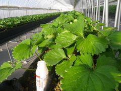[写真]カブリダニを放飼した直後のイチゴの苗とカブリダニが入っていたボトル
