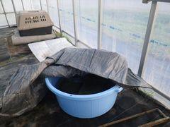 [写真]育苗ハウスに移動したカメのクロちゃんの住まい(水色のタライ)