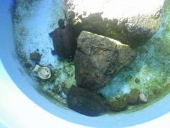 [写真]無地生還したカメのトラ(左上)とクロちゃん(下)が桶の中で泳いでいるところ