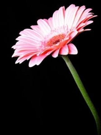 フリー画像・ピンクのガーベラ