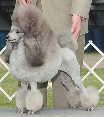 Silver_Miniature_Poodle_stacked.jpg