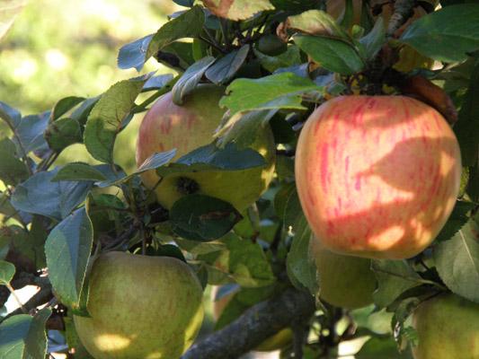 Apfel.jpg
