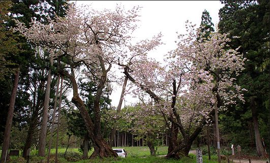 いわはし神社の大鹿桜 会津五大桜のひとつ 奈良時代に朝廷から献上もたらされたもの