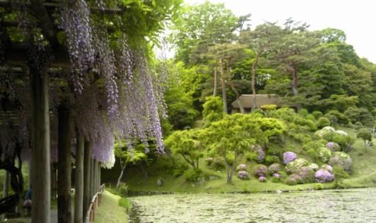 霞池をいろどる藤がきれい!ムラサキと白のコントラストがすてき